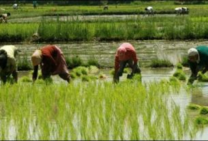 Farmers getting ready for paddy cultivation after continued showers in the district