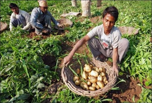 Cold Weather disappoints Potato Farmers of Bihar's Mithila region